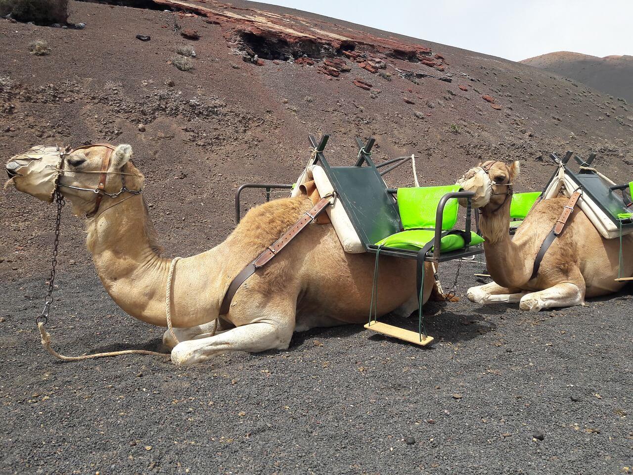 Balade en chameau aux Canaries
